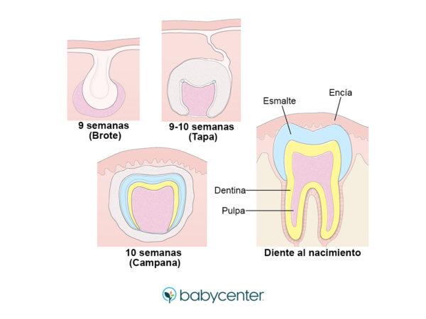 desarrollo dientes bebe